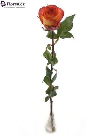 ROSA SKYFIRE 80cm