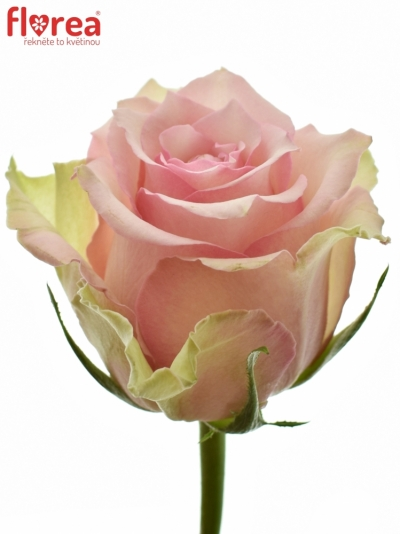 Žlutokrémová růže DREAMLAND 50cm