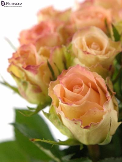 Žlutokrémová růže DUETT