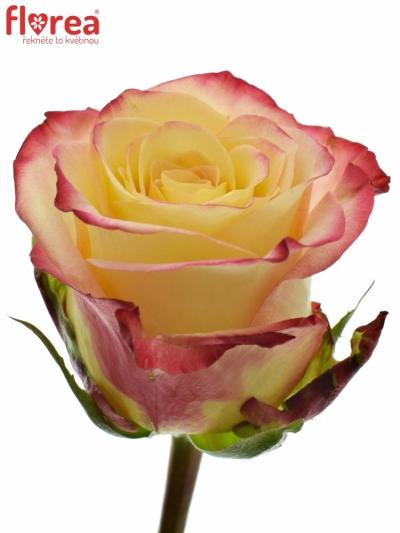 Žlutooranžová růže RISE N SUN 50cm (L)