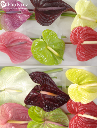 ANTHURIUM A MIX x16box Ø11cm