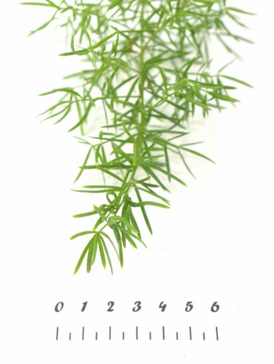 ASPARAGUS SPRENGERI 250g