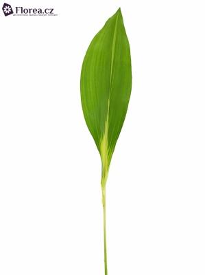 ASPIDISTRA WINTER GREEN 60cm
