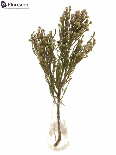 BRUNIA NODULIFLORA 40cm