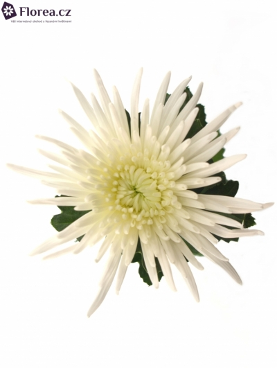 CHRYSANTHEMA G ANABEL SUPER 110g