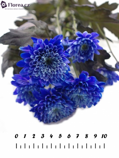 CHRYSANTHEMA T EURO BLUE BARVENÁ 80g