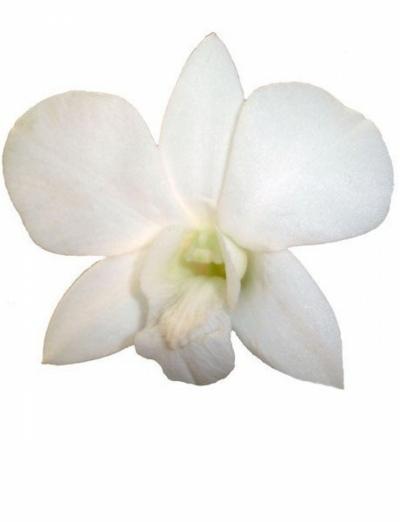 DENDROBIUM WHITE 50cm
