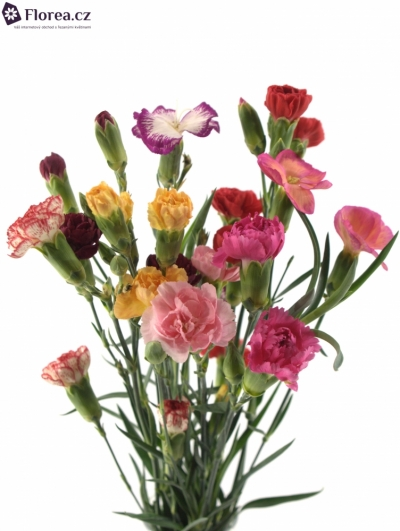 DIANTHUS TR MIX IN BUNCH 60cm/5+