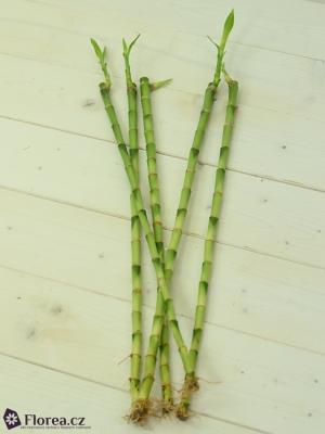DRACEANA LUCKY BAMBOO 40cm