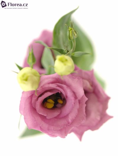 EUSTOMA G ROSITA ROSE PINK 65cm/4+