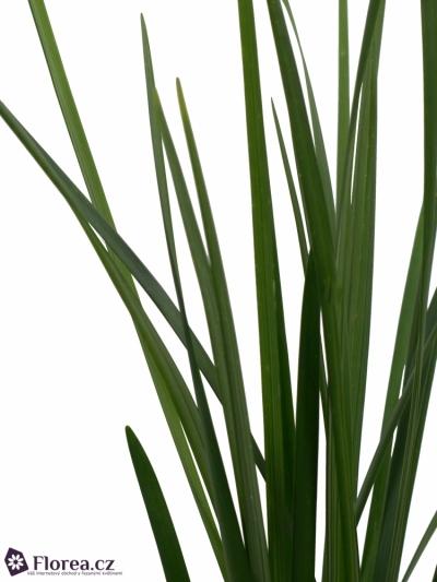 GRASS LILLY GRASS 50cm
