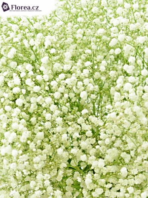 GYPSOPHILA PA BEAUTY BRIDE 25g