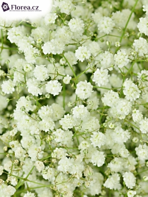 GYPSOPHILA PA DYNAMIC LOVE 40g