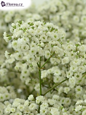 GYPSOPHILA PA NEW LOVE 40g