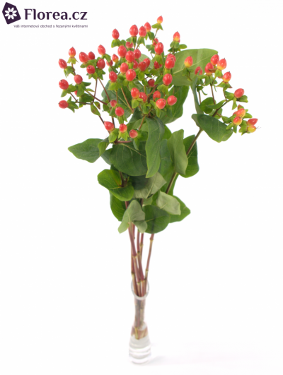 HYPERICUM A FIRE FLAIR 50cm