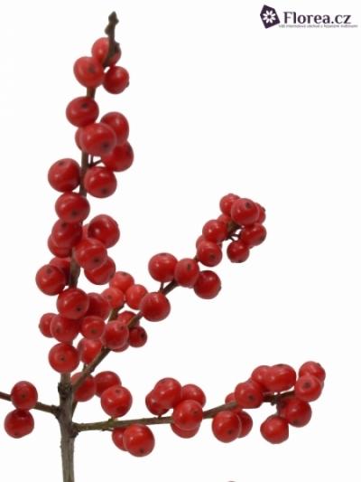 ILEX VERTICILLATA RED 40cm