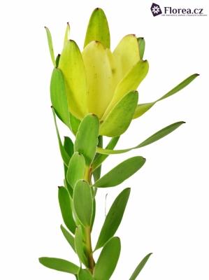 LEUCADENDRON SAFARI GOLDSTRIKE 60cm