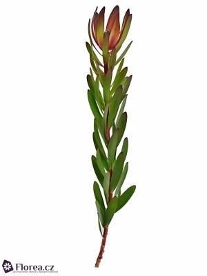 LEUCADENDRON SAFARI SUNSET 90cm
