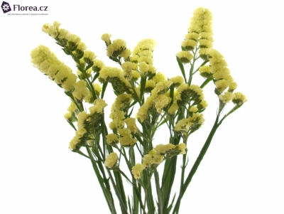 LIMONIUM SINUATUM YELLOW SUN BIRDS 60cm/20g