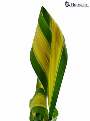 PANDANUS PHASE 60cm