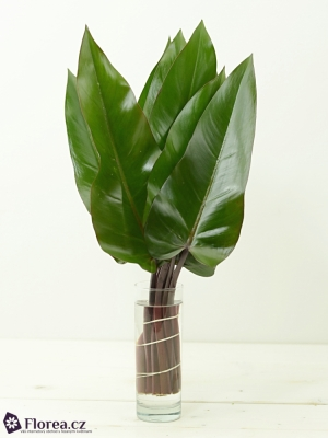 PHILODENDRON LISA 45cm