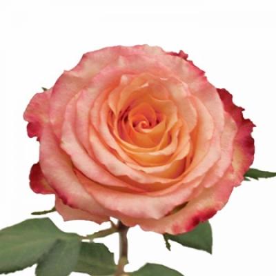 ROSA ANTIQUE DUETT 35cm (S)